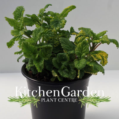 Lemon balm variegated