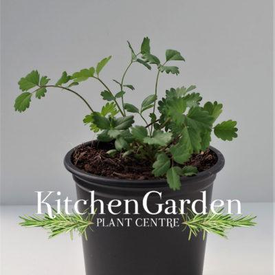 Salad Burnet